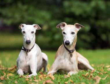 Dog Inbreeding: Can You Breed Sibling Dogs?