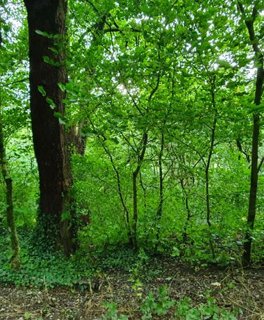 Thick woodland and green undergrowth