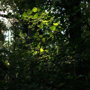 Green Leaves 1598