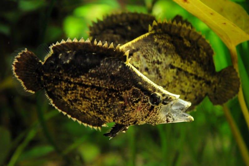 A imagem mostra a vista lateral de três peixes-folha que se sobrepõem. O peixe em primeiro plano está expandindo sua boca como faz momentos antes de capturar sua presa.