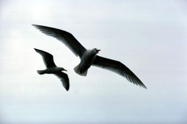 Two Great Black-backed Gulls in flight