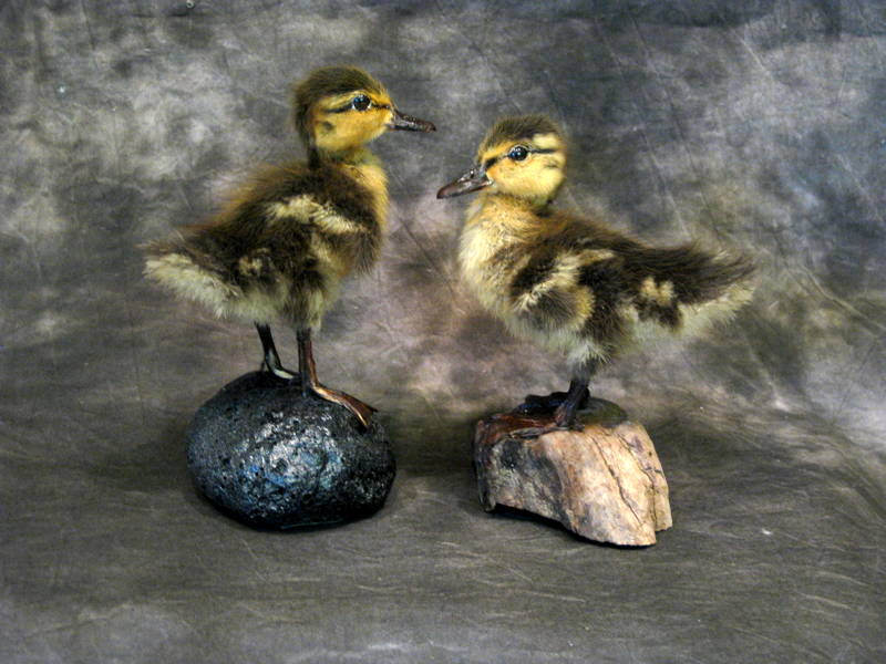 Cherri's Mallard Ducklings