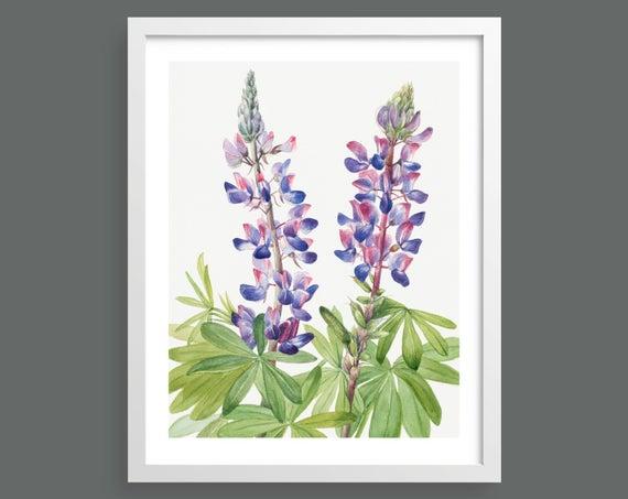 Summer Lupine (Lupinus Fornosus) by Mary Vaux Walcott