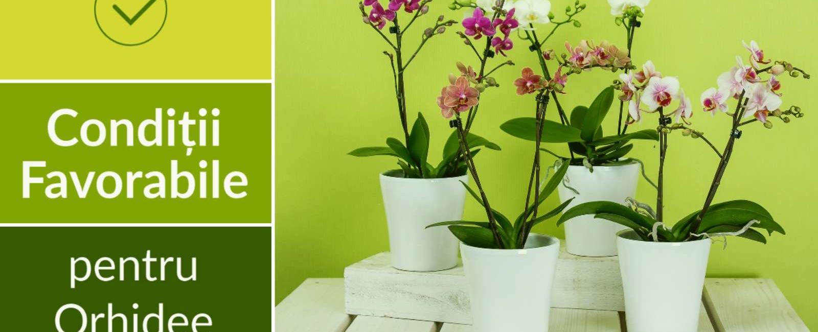 Cum se ingrijeste orhideea