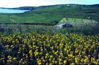 A field of Bog Asphodel