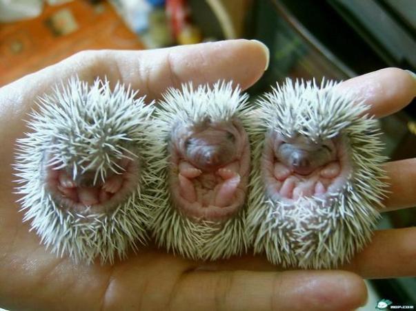 Jeżyki = Baby Hedgehogs