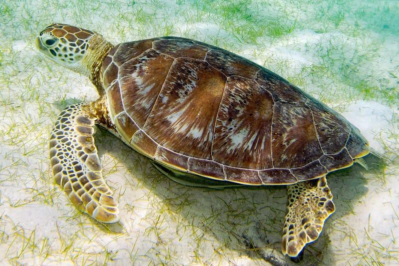 Tartaruga-verde no leito oceânico se alimentando de erva-marinha.