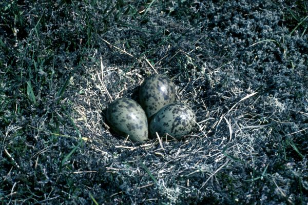 A nest of three Whimbrel eggs