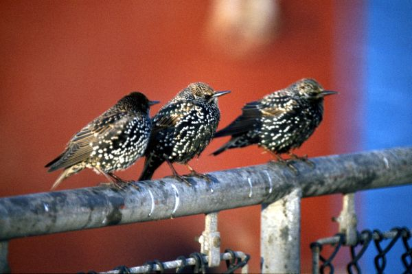 Three Starlings stand on a railing