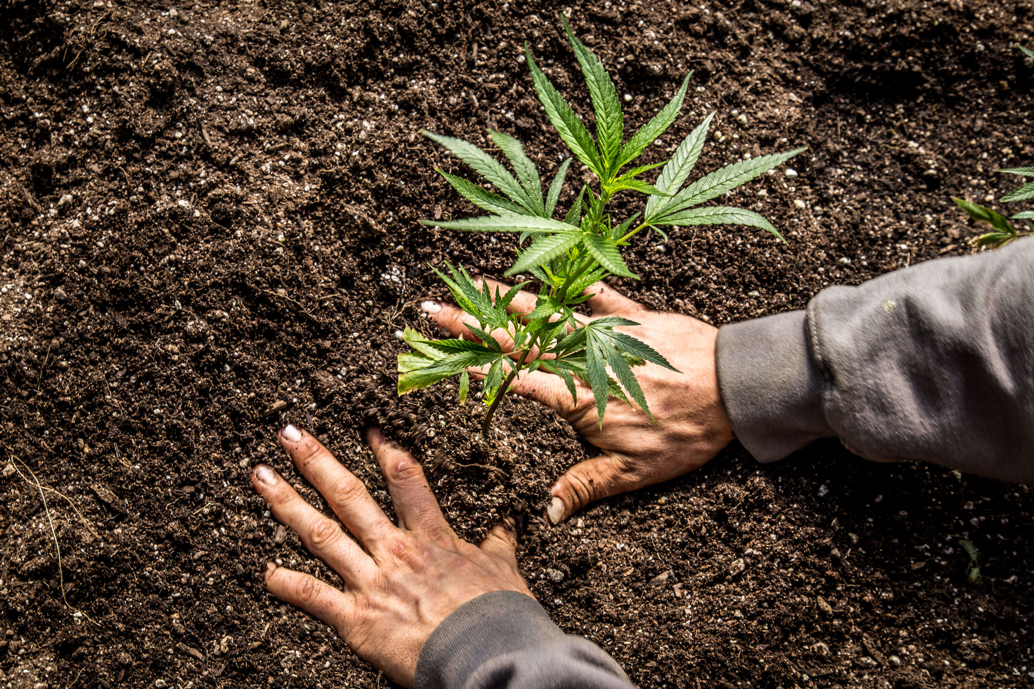 Planting Cannabis in Soil