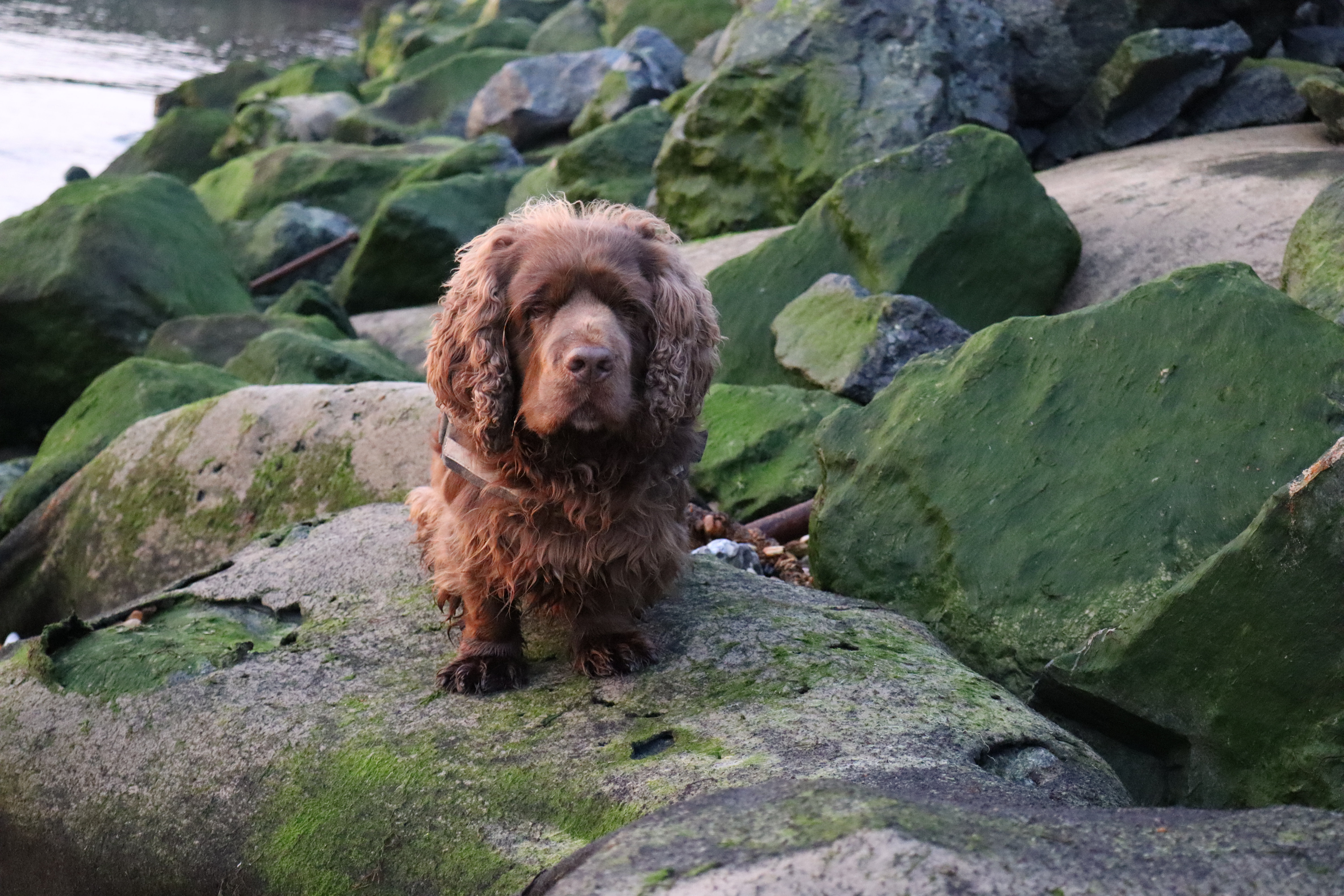 Bruno the Sussex spaniel sat on the rocks at the beach.