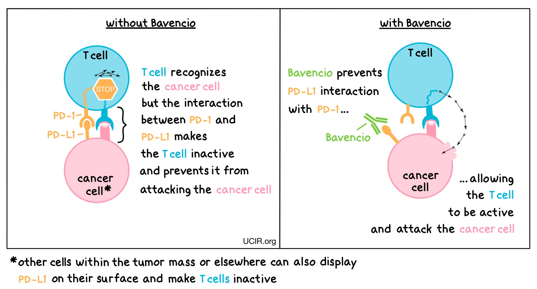 Detailed illustration on how Bavencio works