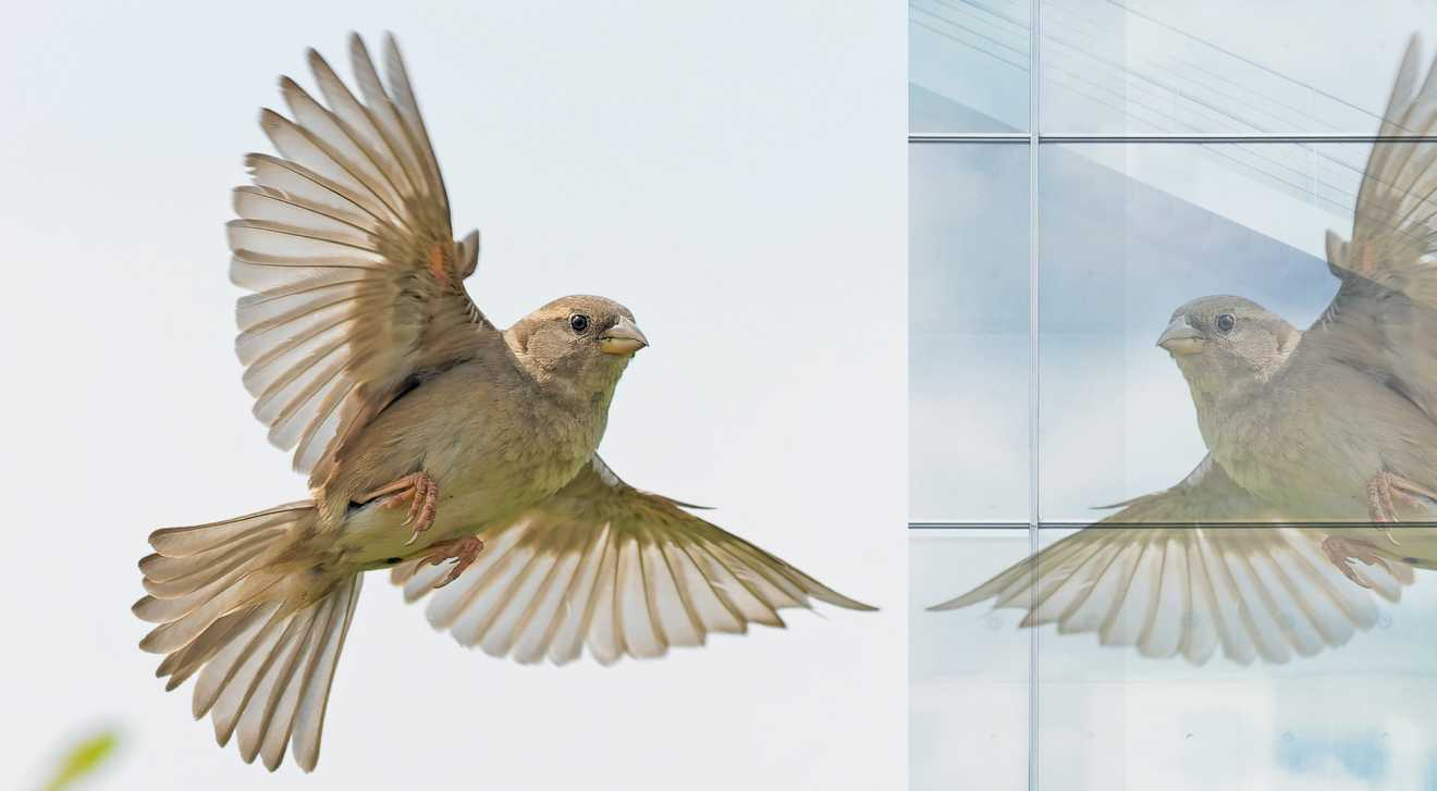 A photo illustration depicting a bird about to fly into a window