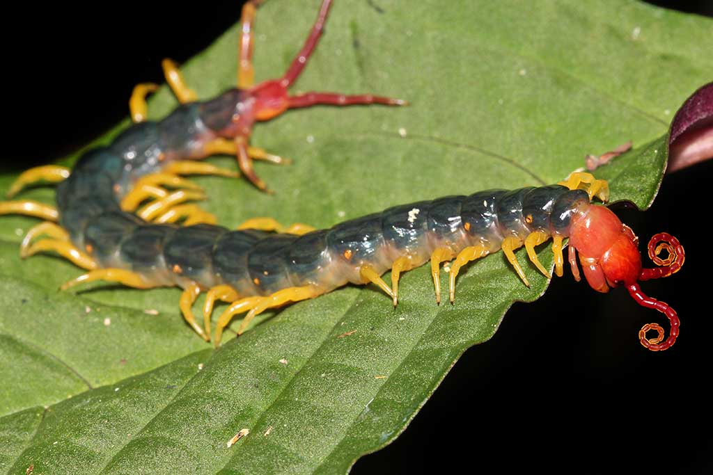 The extremely venomous Peruvian Giant Yellow-leg or Amazonian Giant Centipede.