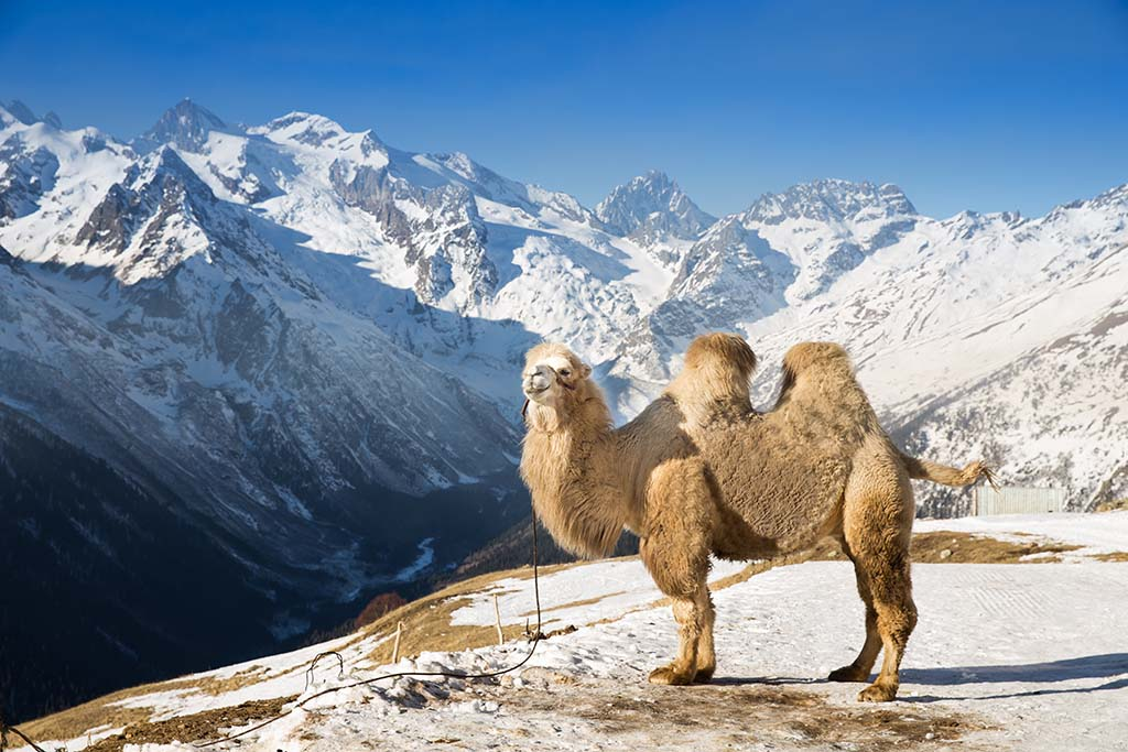 A bactrian camel standing high in the mountains of Caucasus, Russia.