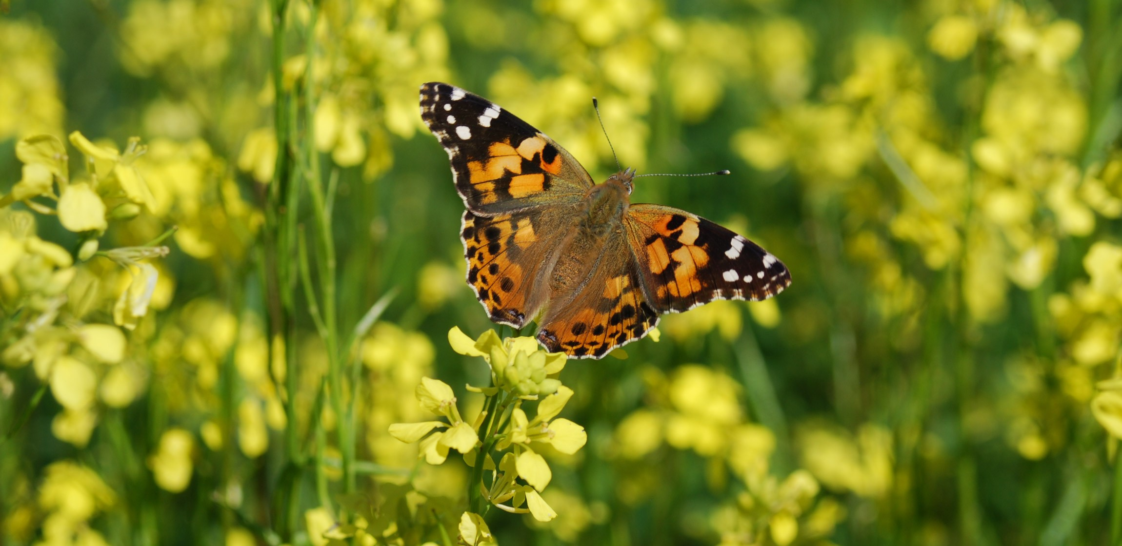 A butterfly on a canola flower