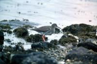 Redshank at the waters edge
