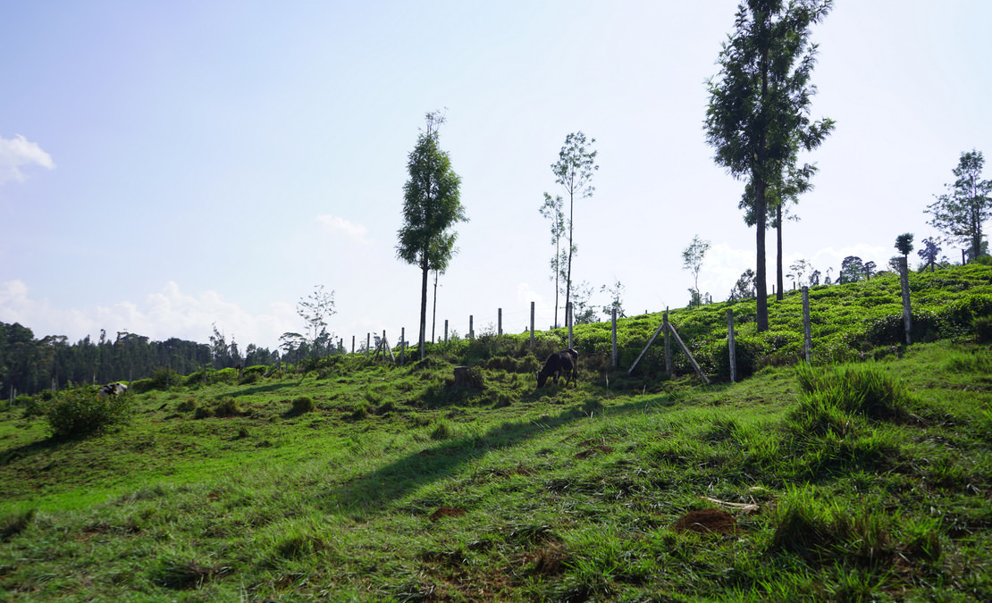 Cows grazing at the highest point of Creekside