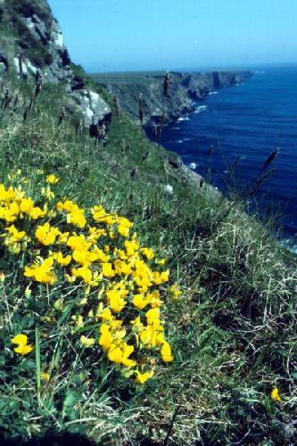 Bird's-foot-trefoil growing near a cliff