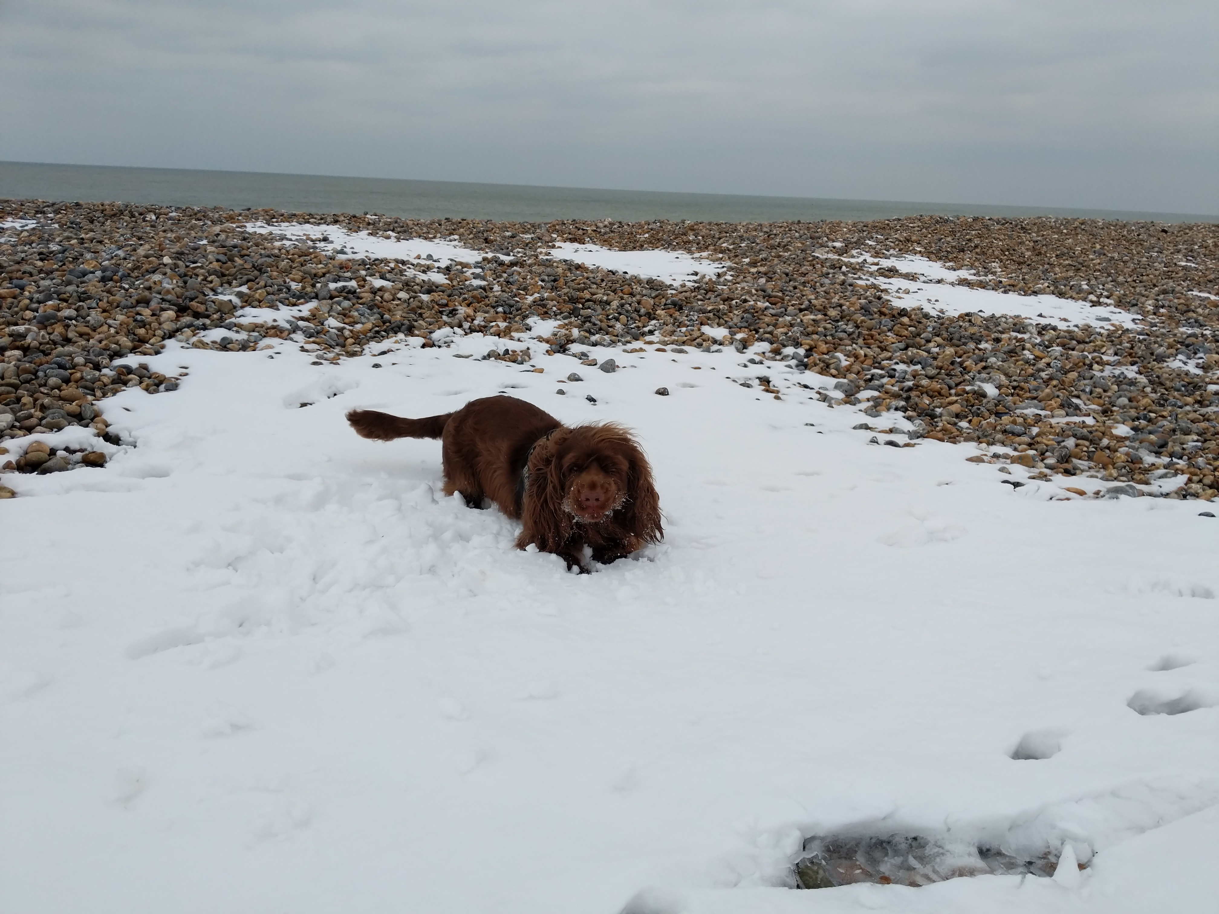 Sussex Spaniel laying on a layer of snow on a pebble beach.