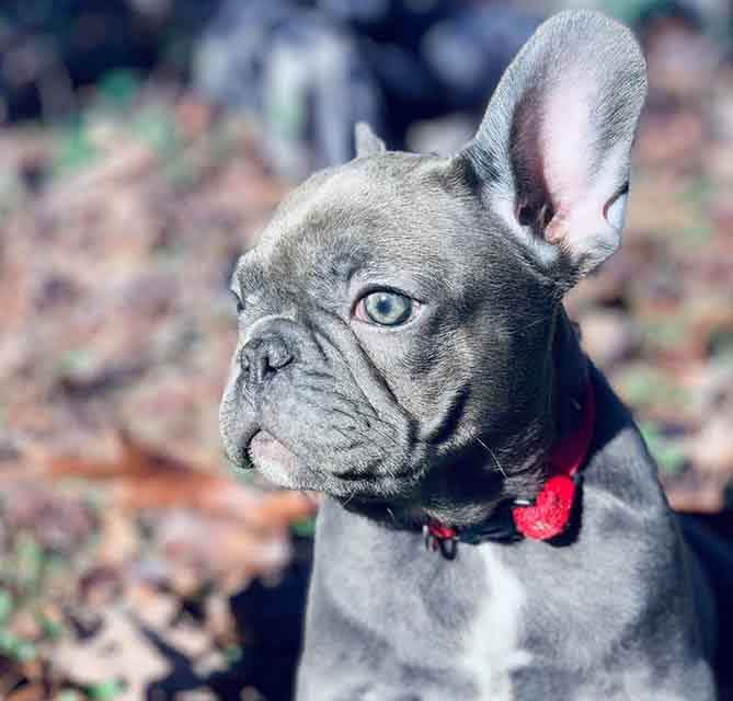 Image of a blue french bulldog puppy with a red collar