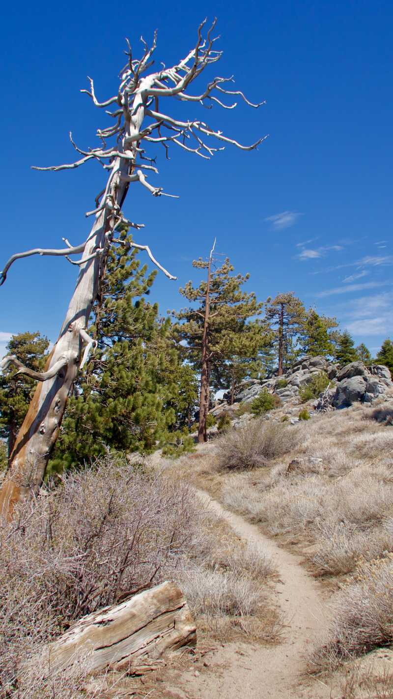 Dead tree on Fuller Ridge