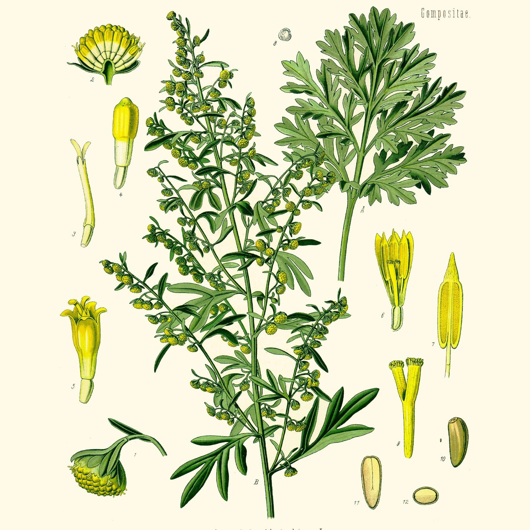 Горькая полынь (Artemisia absinthium). Источник: wikimedia.org