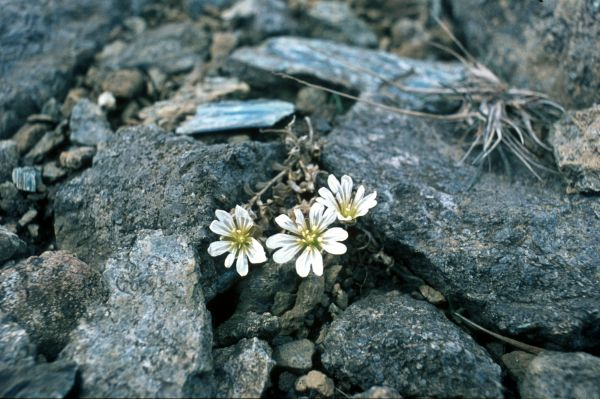 Three Shetland Mouse-ear flowers between the stones