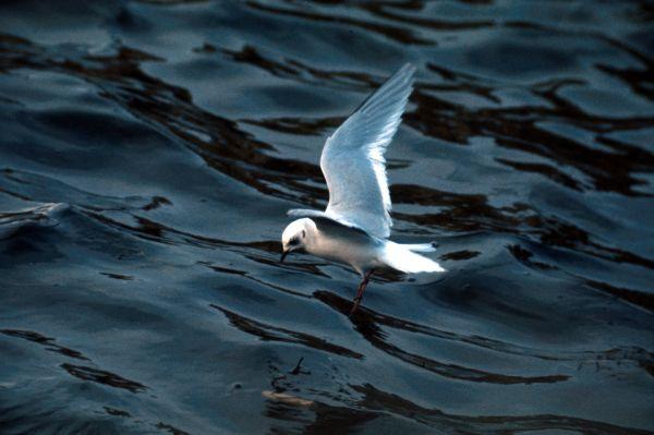 A Black Headed Gull flying in winter plummage