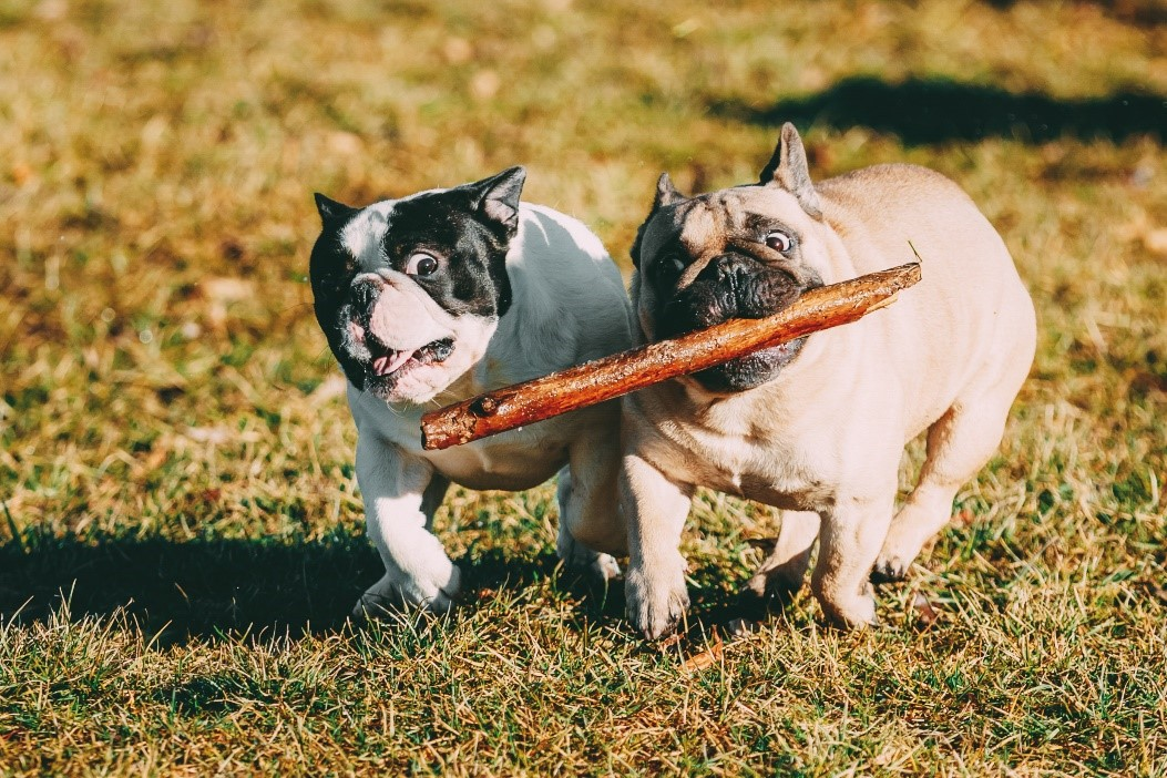 Image of quite chubby frenchies