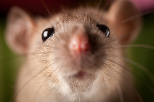 cute mouse close-up