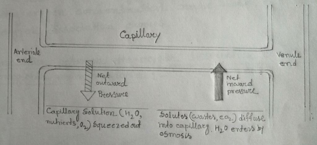 Fluid exchange across a capillary wall