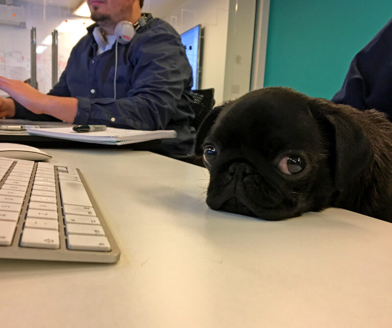 Percy the pug joins the team