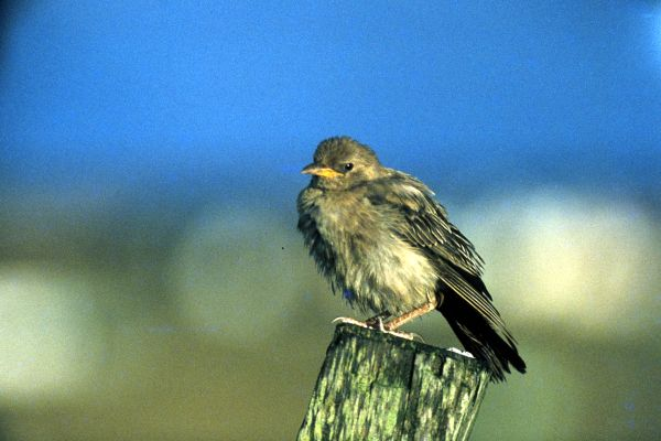 A Rose-coloured Starling perches on a pole