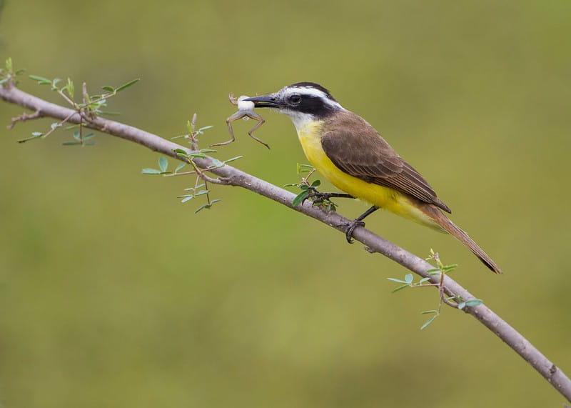 Bem-te-vi ave generalista, onívora comendo um sapo. Seu bico é adaptado para capturar vários tipos diferentes de alimento.