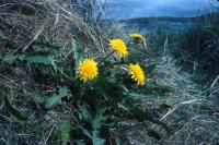 Dandelions grow among the grass.