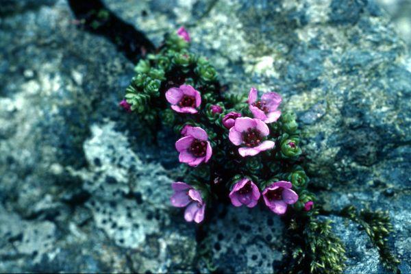 Purple Saxifrage takes advantage of cracked rock