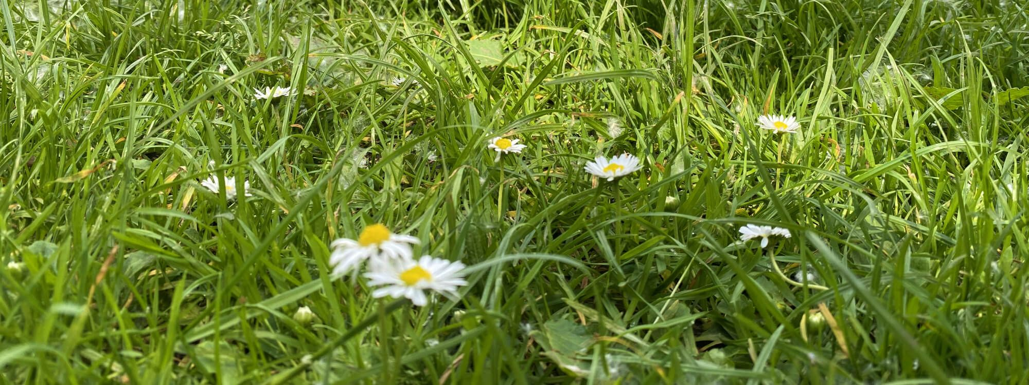 Several daisies against green grass in Meanwood Park