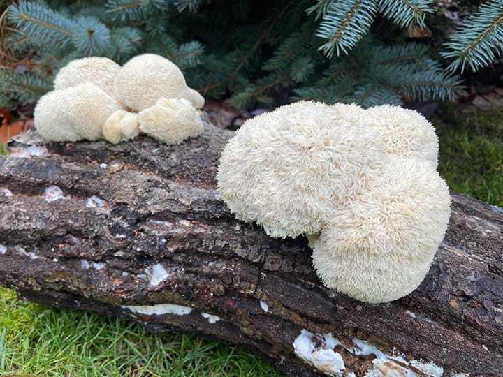 Hericium erinaceus on log | MycoLabs