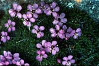 Pink Moss Campion flowers
