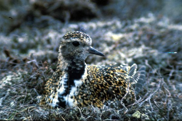 A Golden Plover on the nest