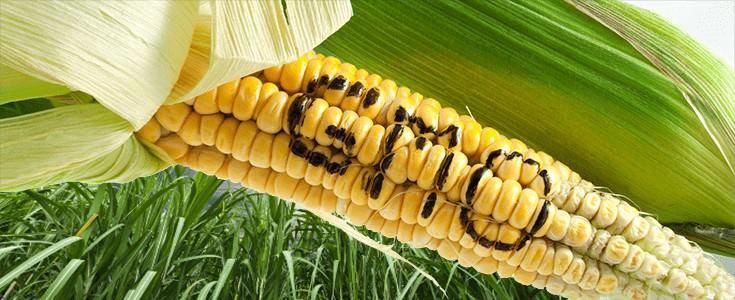 GMO-hisztéria 1: A zöld szervezetek kapcsolata az organikus élelmiszerlobbival