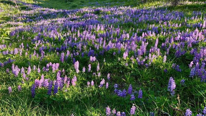 A field of purple lupine flowers