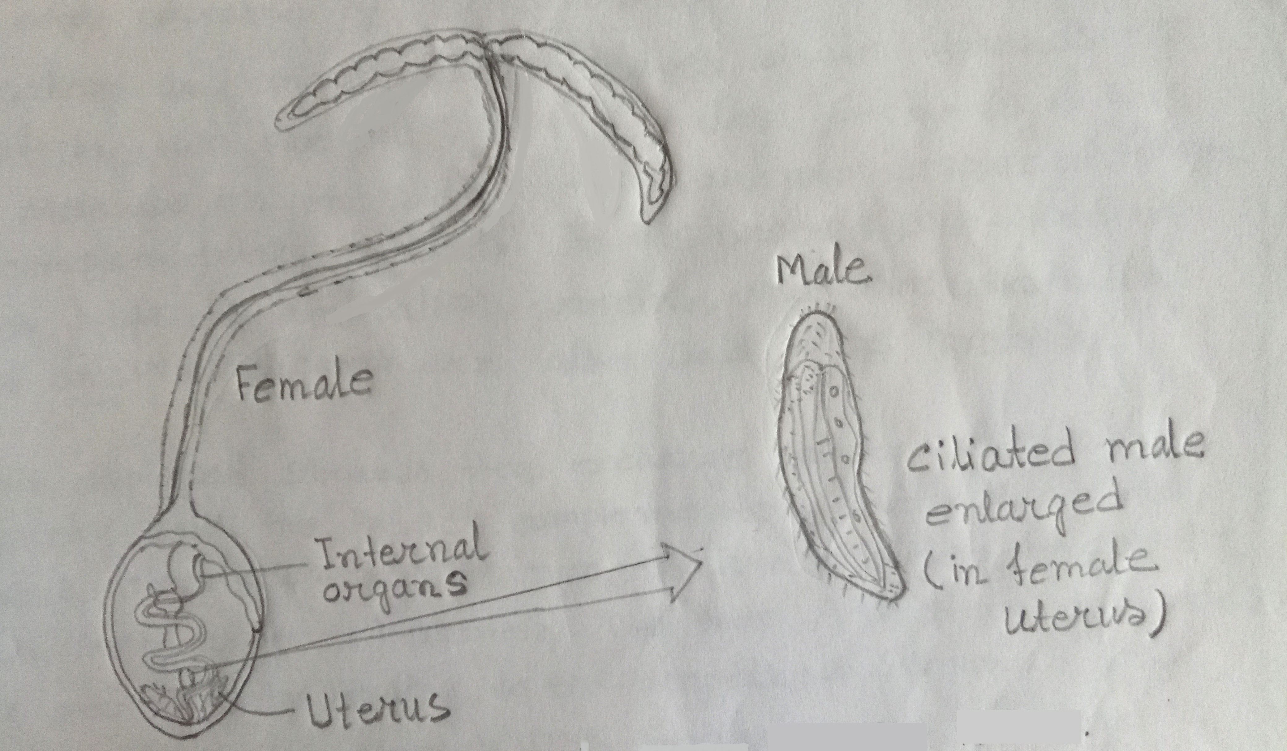 The female & male of the marine worm Bonellia Viridis