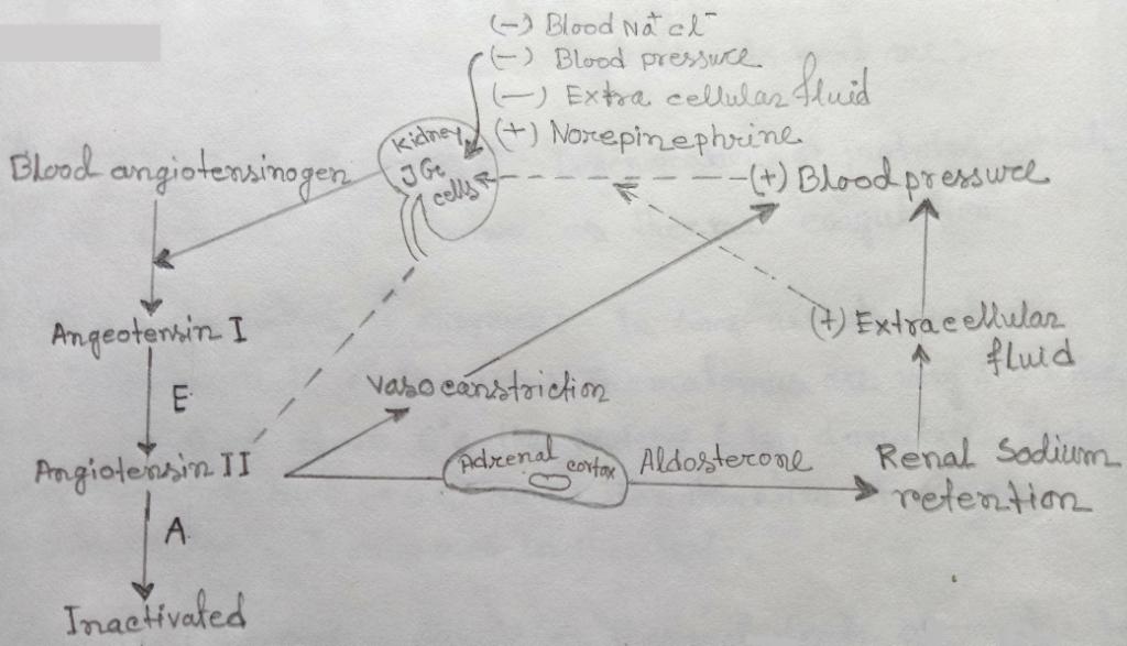 Renin-Angiotensin mechanism for the regulation of kidney function