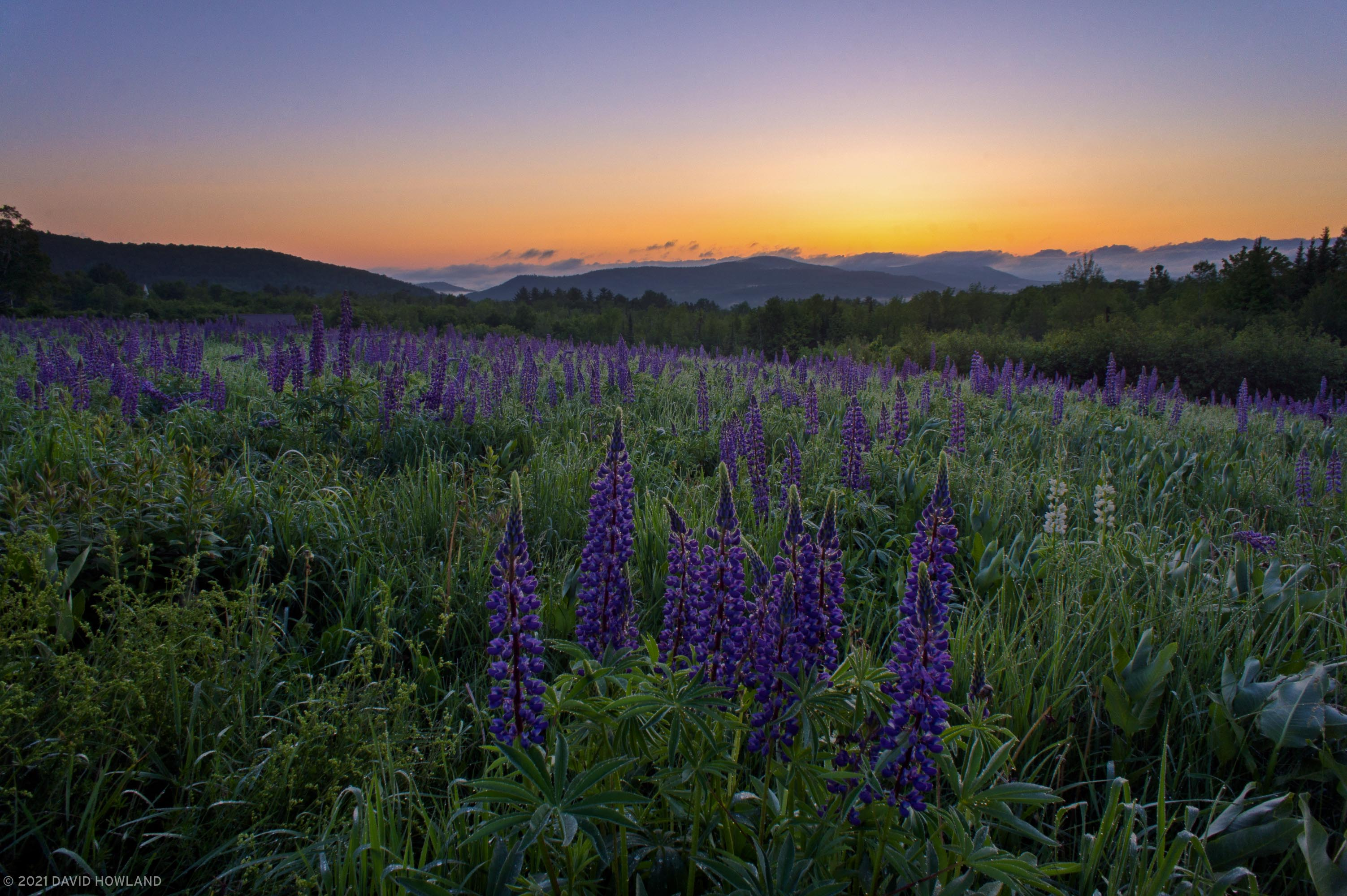 Sunrise Over Sugar Hill Lupines