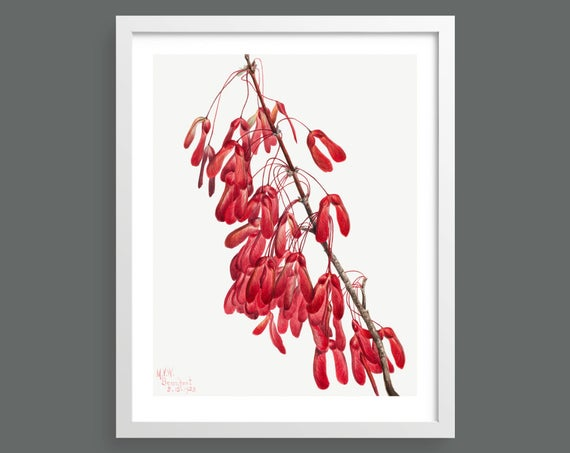 Carolina Maple (Acer Carolinianum) by Mary Vaux Walcott