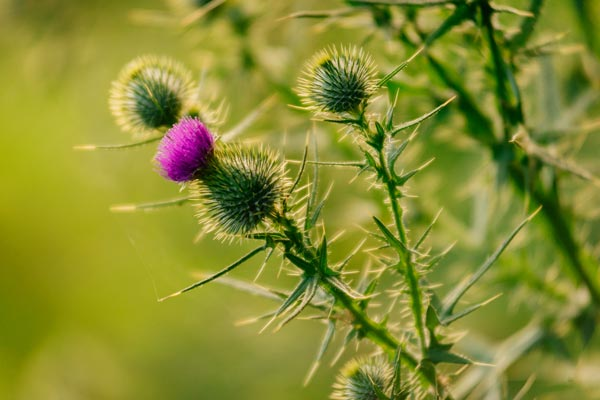 Close up of thistle plant.