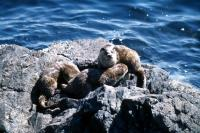 Mother Otter with large cubs