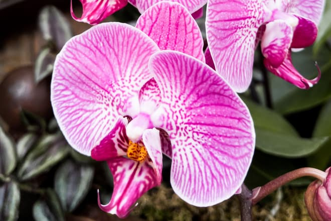 A stem of purple and white orchid flowers, all in full bloom.
